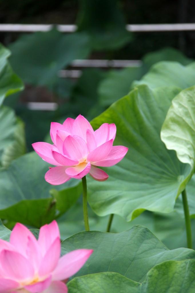 Lotuses X