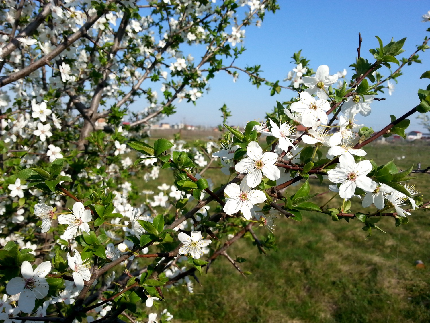 Spring blossoms: apricot tree, cherry blossom and others