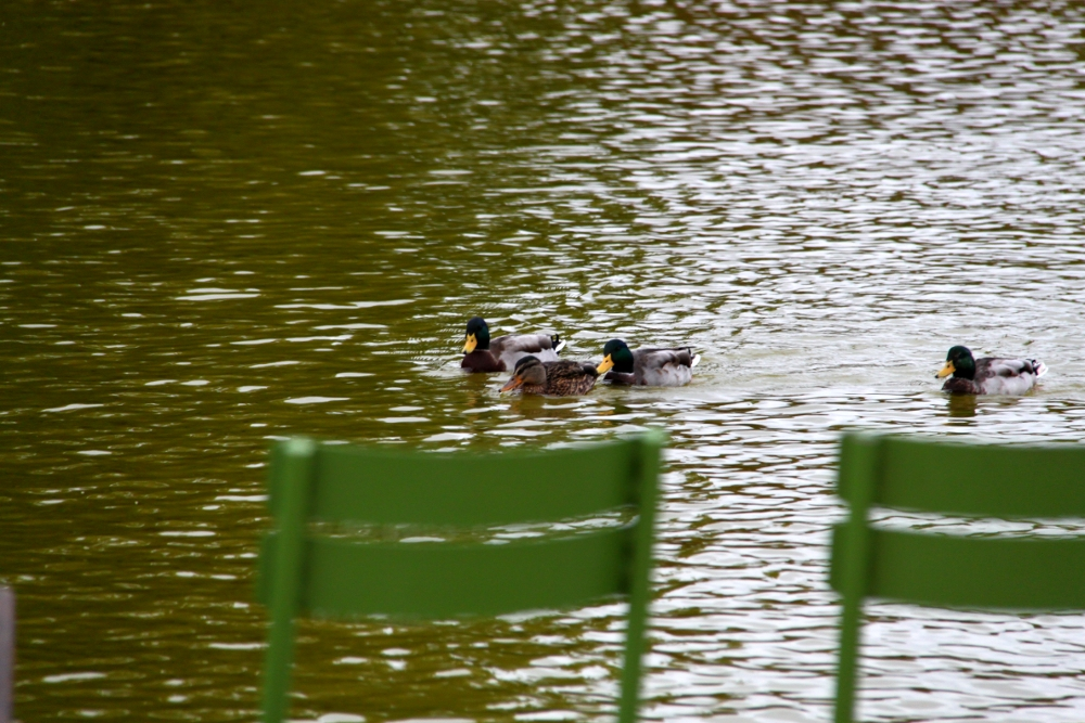 Ducks from The Tuileries Garden, Paris