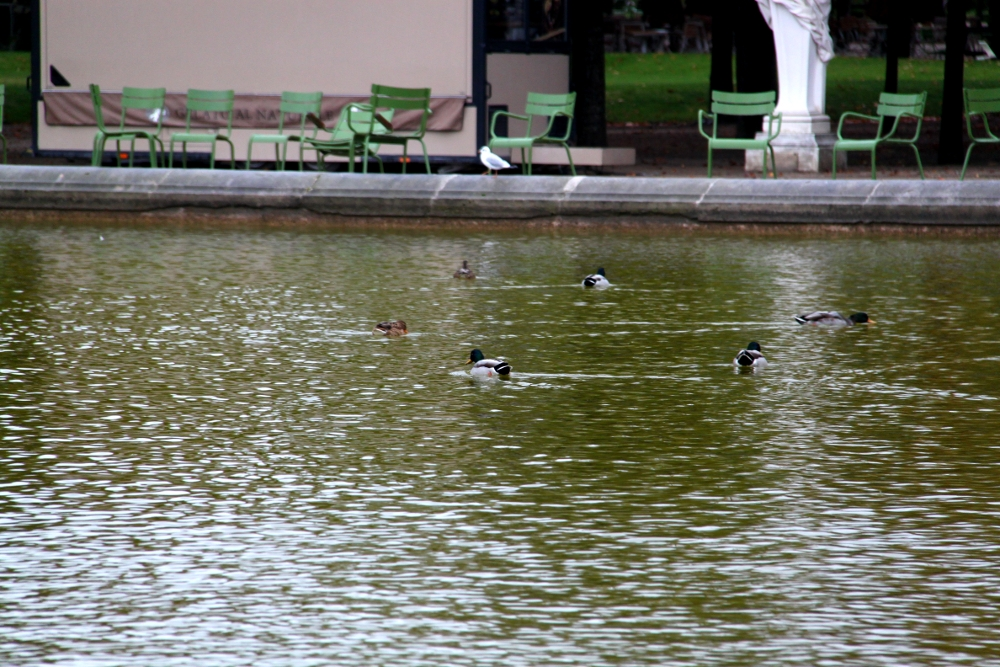 Ducks from The Tuileries Garden in Paris
