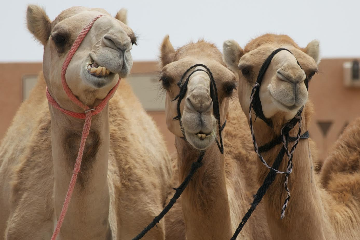 Al Ain camels - a comprehensive guide to Abu Dhabi