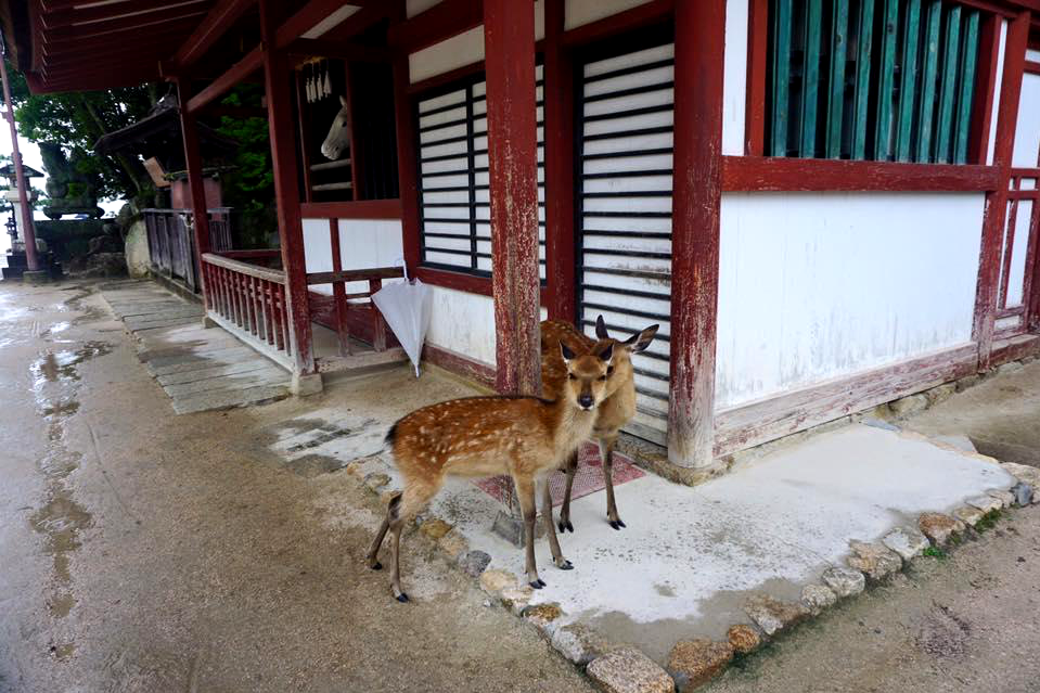 Friendly deer welcome you as you exit the ferry and will follow you around the island as well! - - A complete travel guide to Hiroshima, Japan