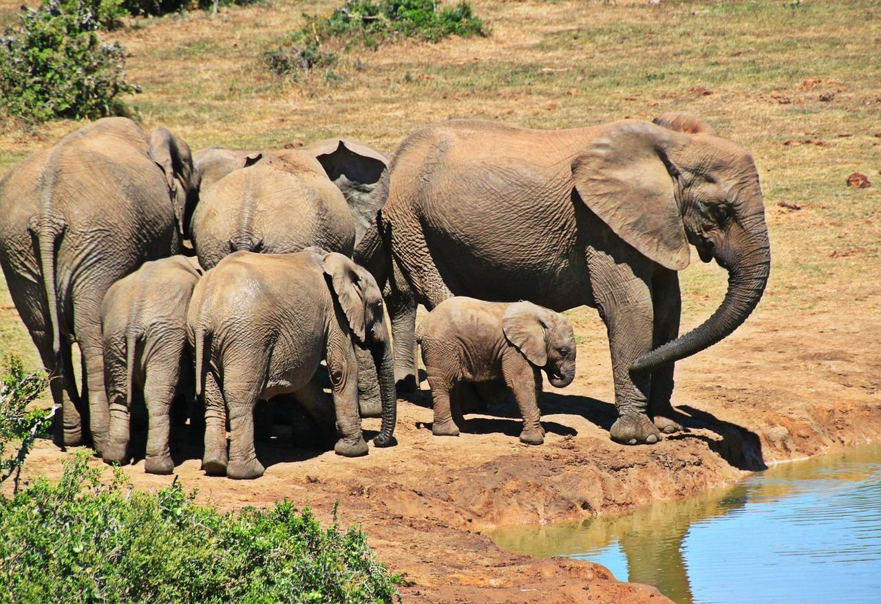 Elephant Africa Pixabay