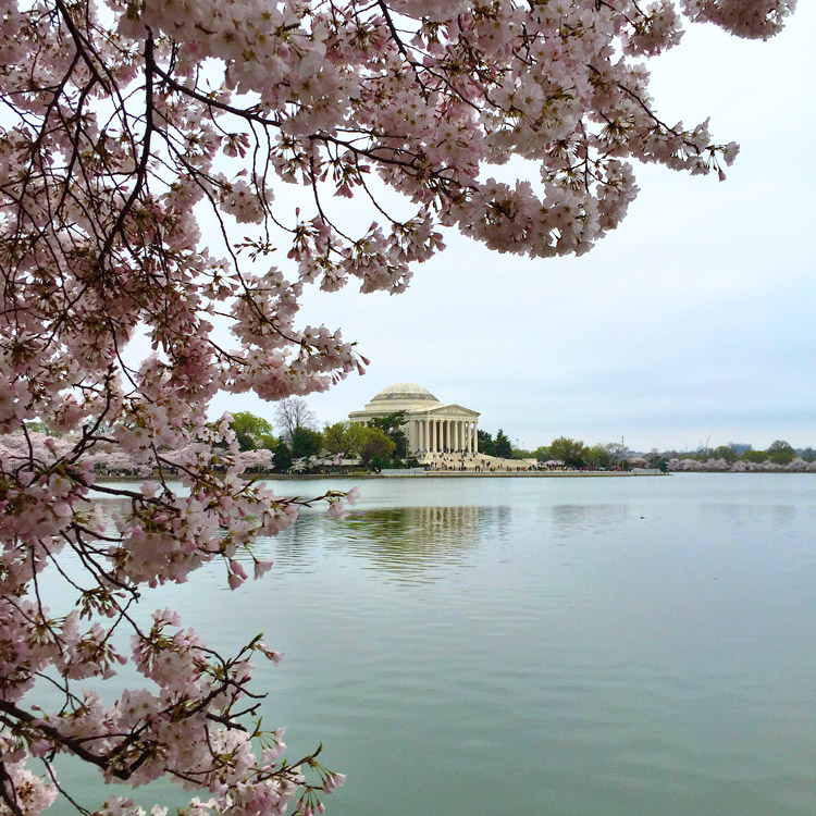 Washington, DC, cherry blossoms7