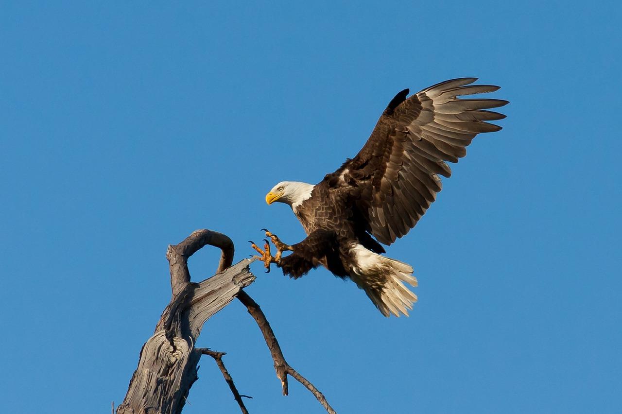 Scotland bald eagle - European birding tours