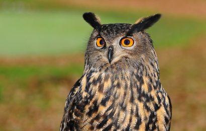 European eagle owl - best European birding tours