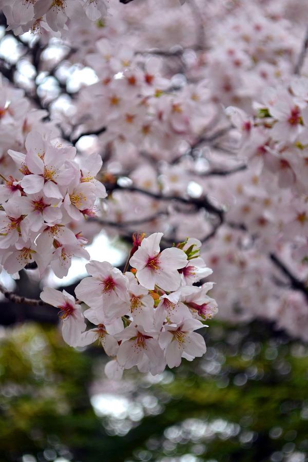 Cherry Blossom - Sakura - Japan