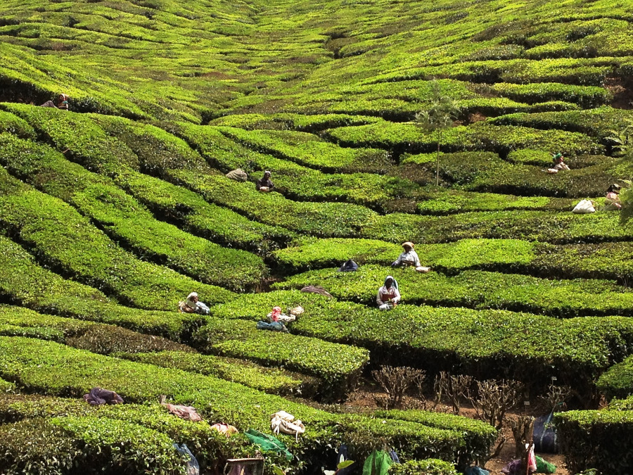 Kerala tea plantation. Powerful reasons to visit Kerala, India right now
