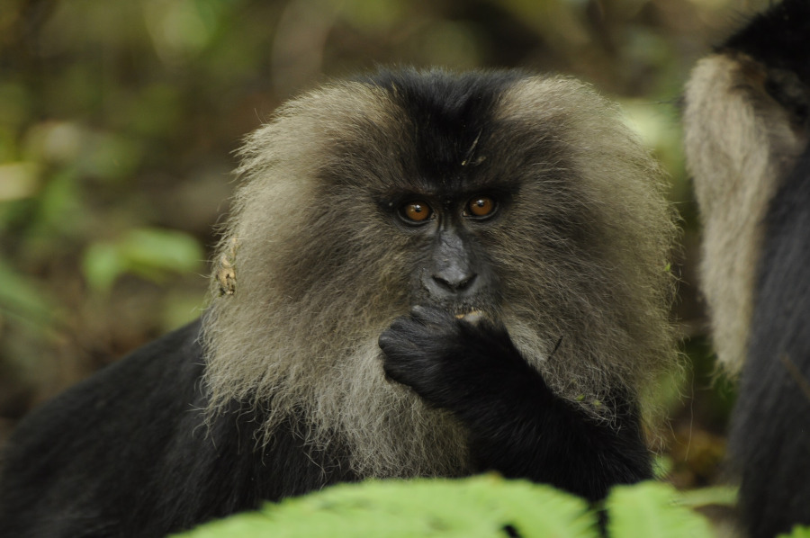 Lion-tailed macaque - Kerala, India. Reasons to make Kerala your next travel destination