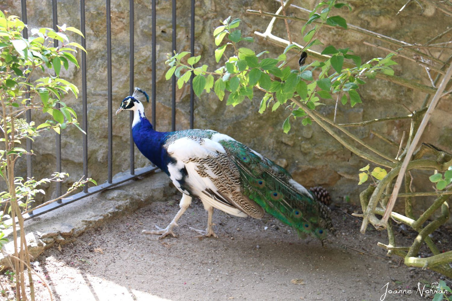 Sao Jorge Castle peacocks. Things to know before visiting Sao Jorge Castle