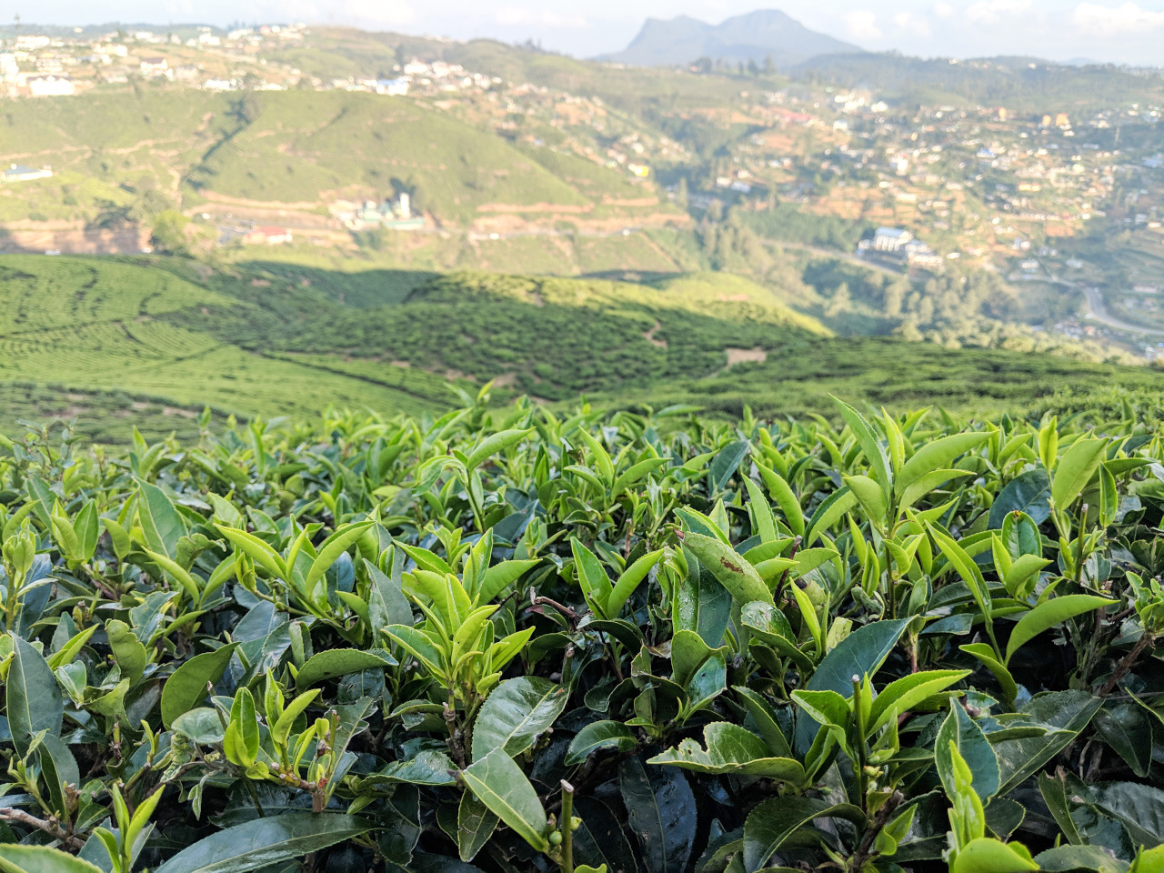 Nuwara Eliya Single Tree Hill tea bushes, Sri Lanka,. Visiting Sri Lanka and wondering what to eat in Sri Lanka? Discover the best foods in Sri Lanka!