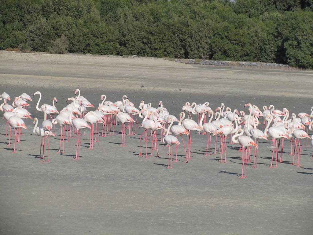 Flamingoes at Ras Al Khor Wildlife Sanctuary - photo via Wikipedia