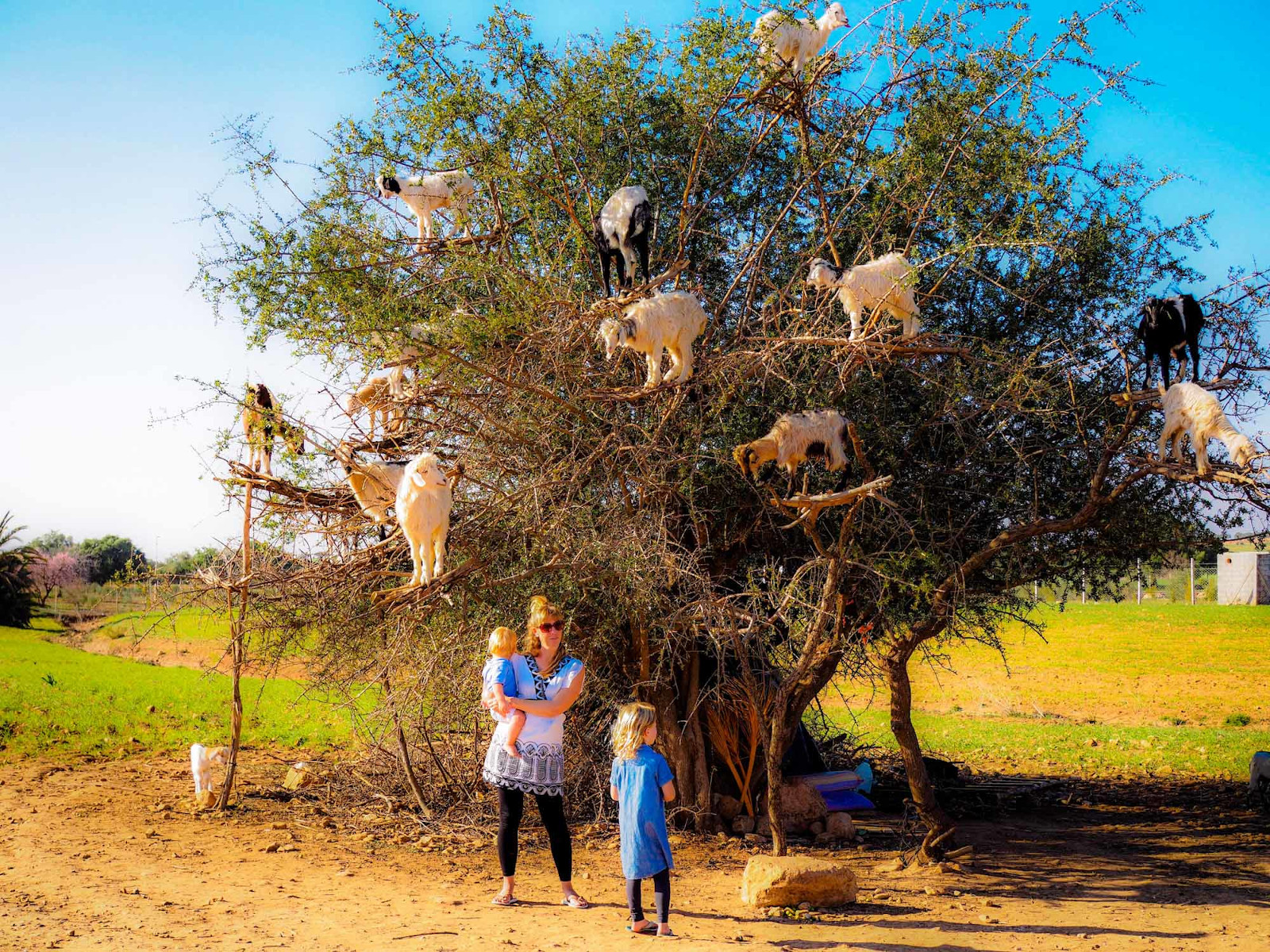 You have to see the goat tree near Essaouira on your Morocco vacation!