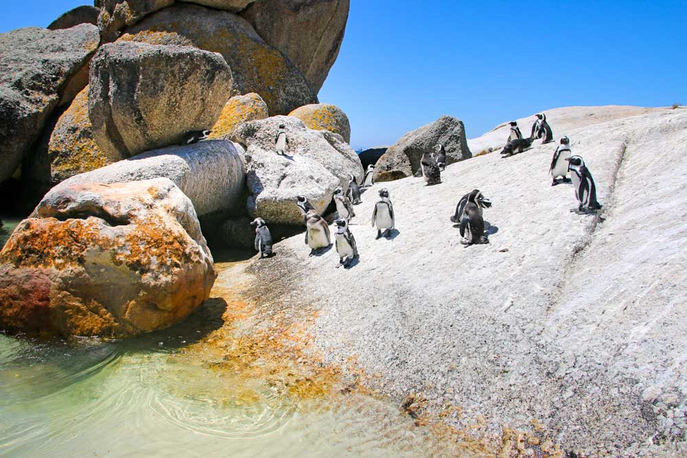 You have to see the penguins at Boulders Beach during your Cape Town trip. Discover what to do in 2 days in Cape Town, South Africa.
