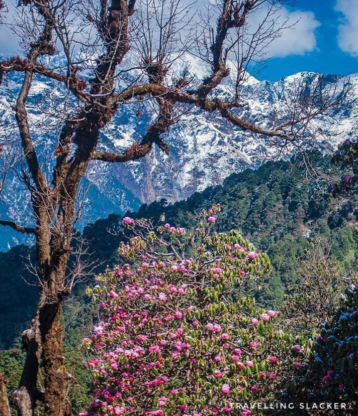 The beautiful Chopta rhododendron blossoms in spring. Chopta to Tungnath route is covered with a rhododendron forest. A 5-day Indian Himalayas Itinerary