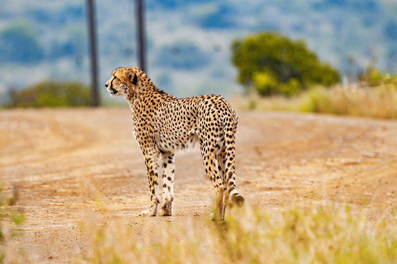 Cheetah - South Africa honeymoon packages
