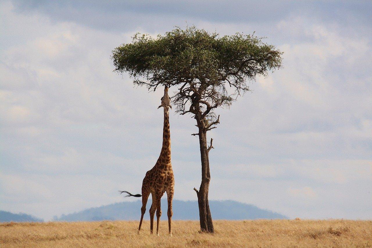 giraffe - honeymoon packages South Africa