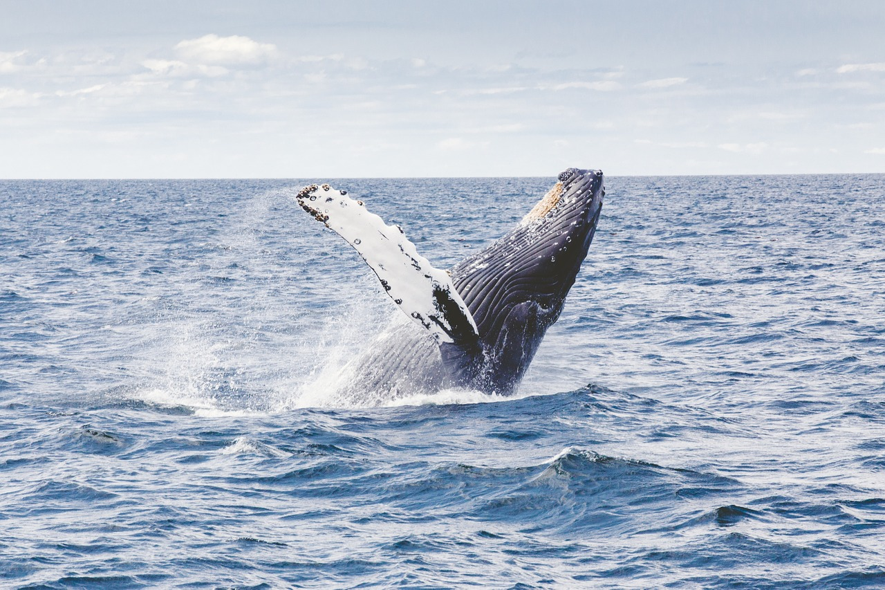Humpback whale - Africa honeymoon packages