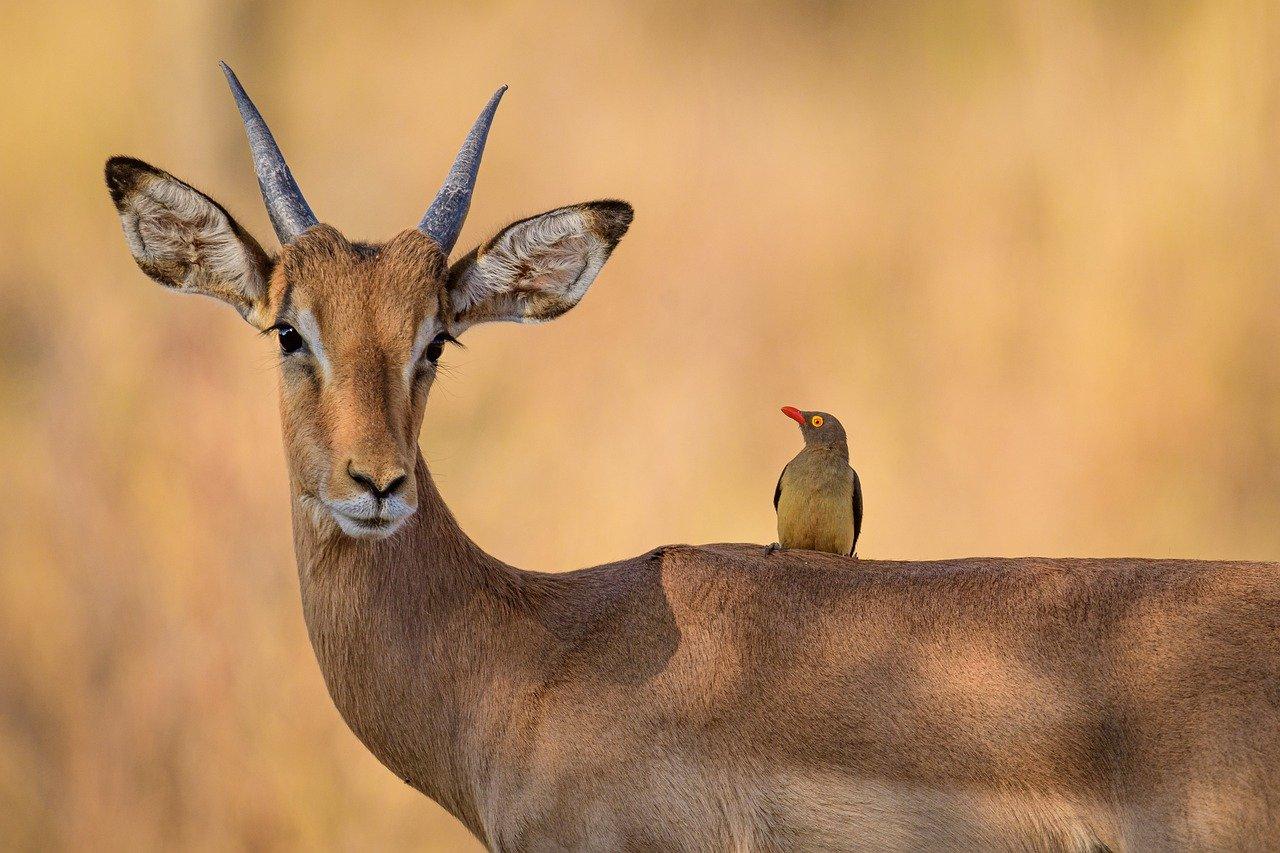 Impala - African safari honeymoon