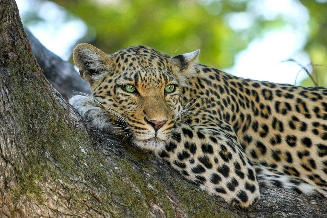 Leopard - Top 5 South African Safari Honeymoon Destinations