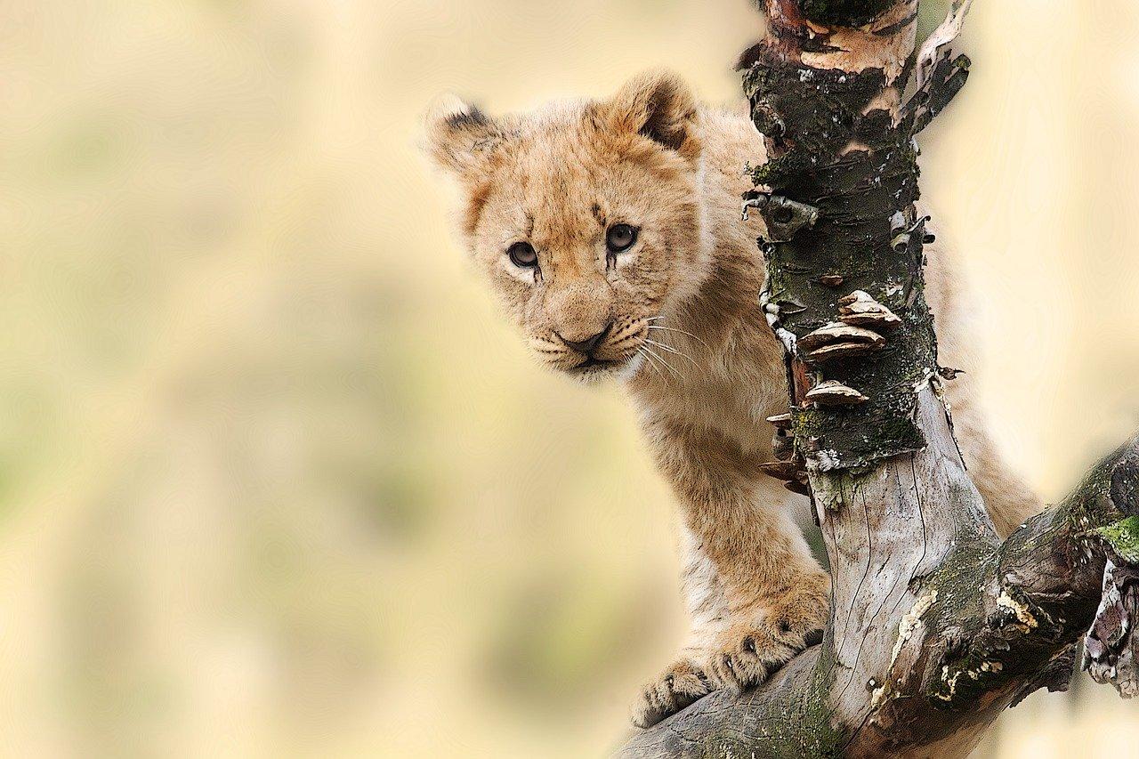 lion cub - honeymoon safari africa