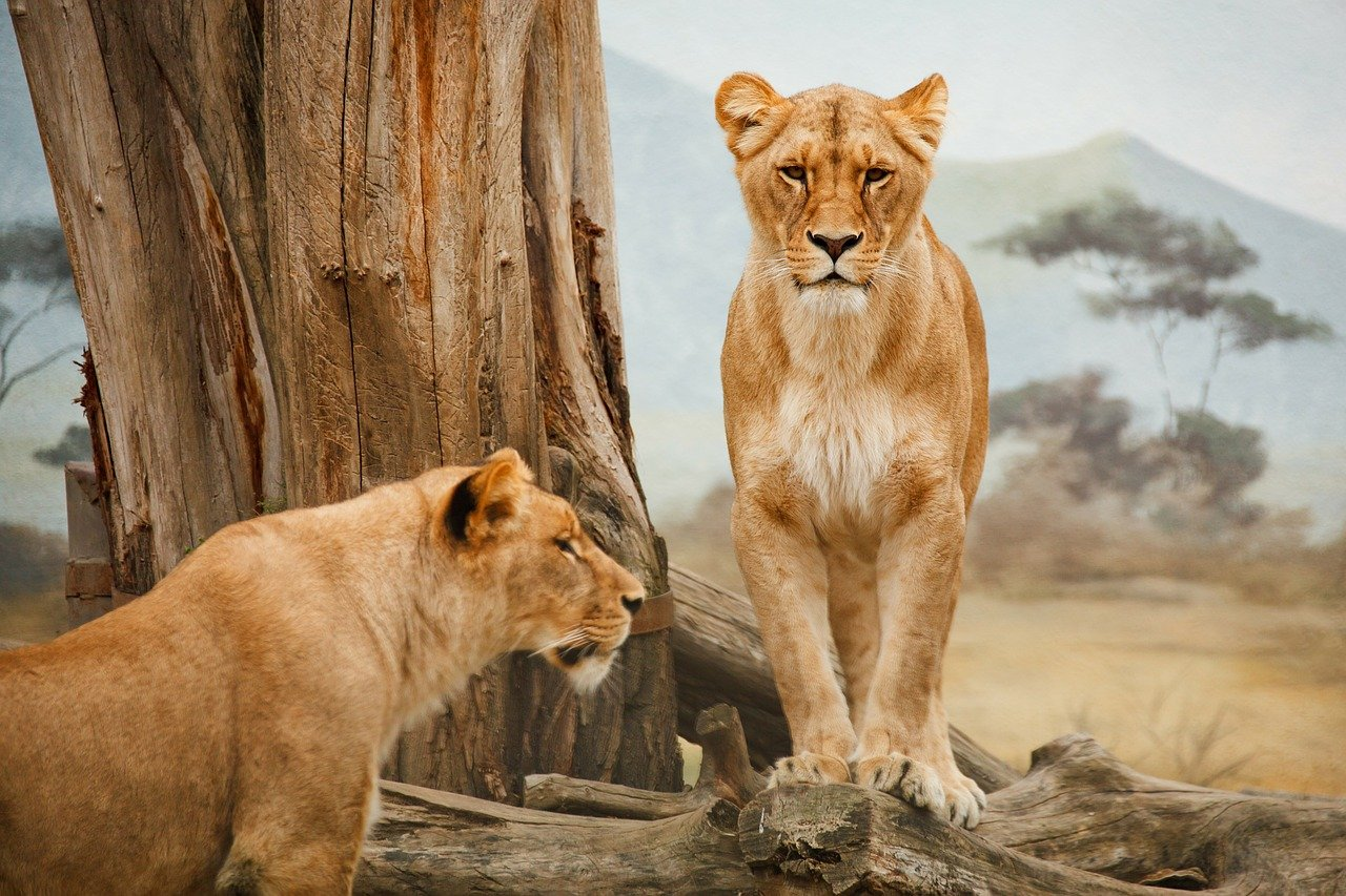 lions - best honeymoon destinations in South Africa