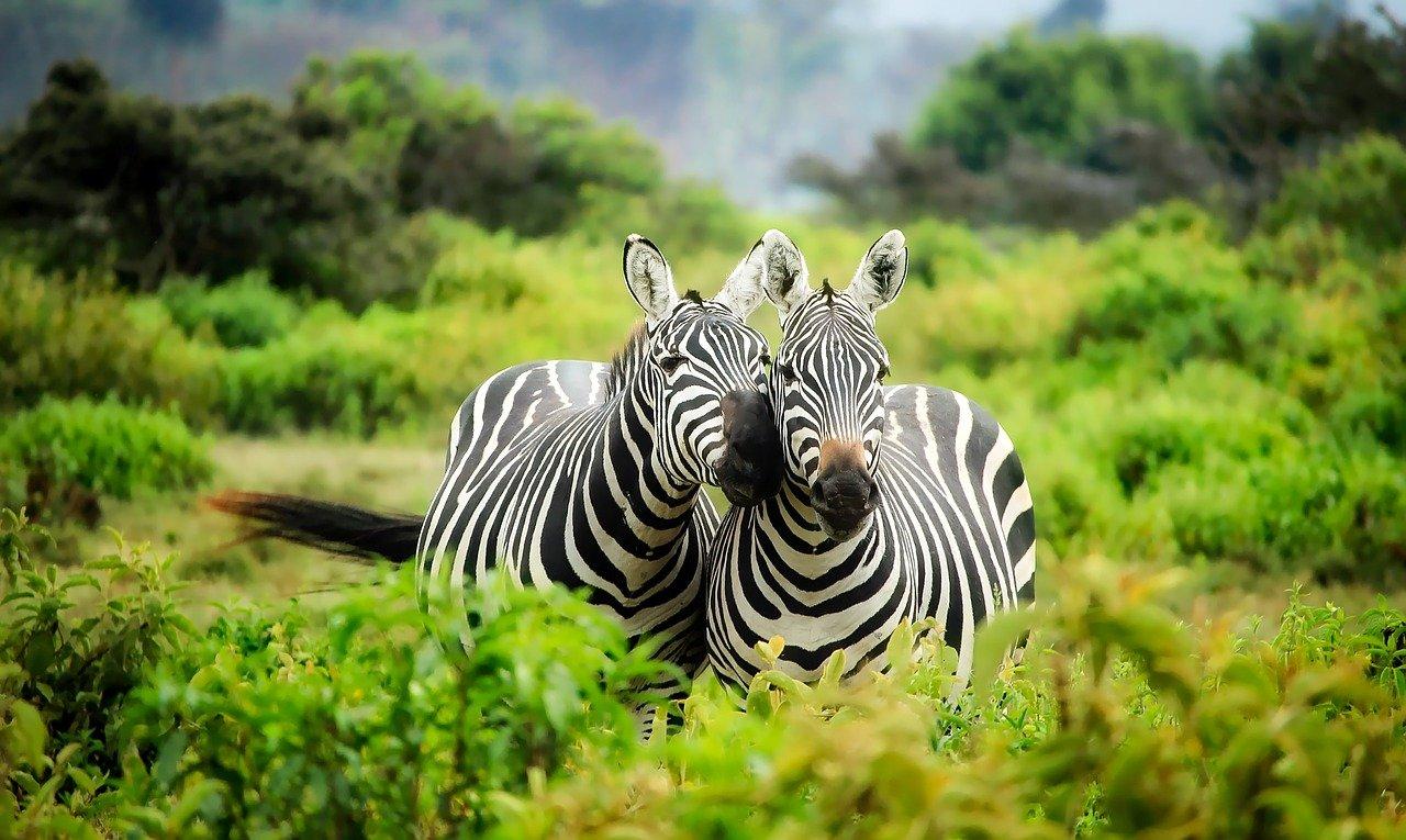 Zebra - South Africa safari honeymoon